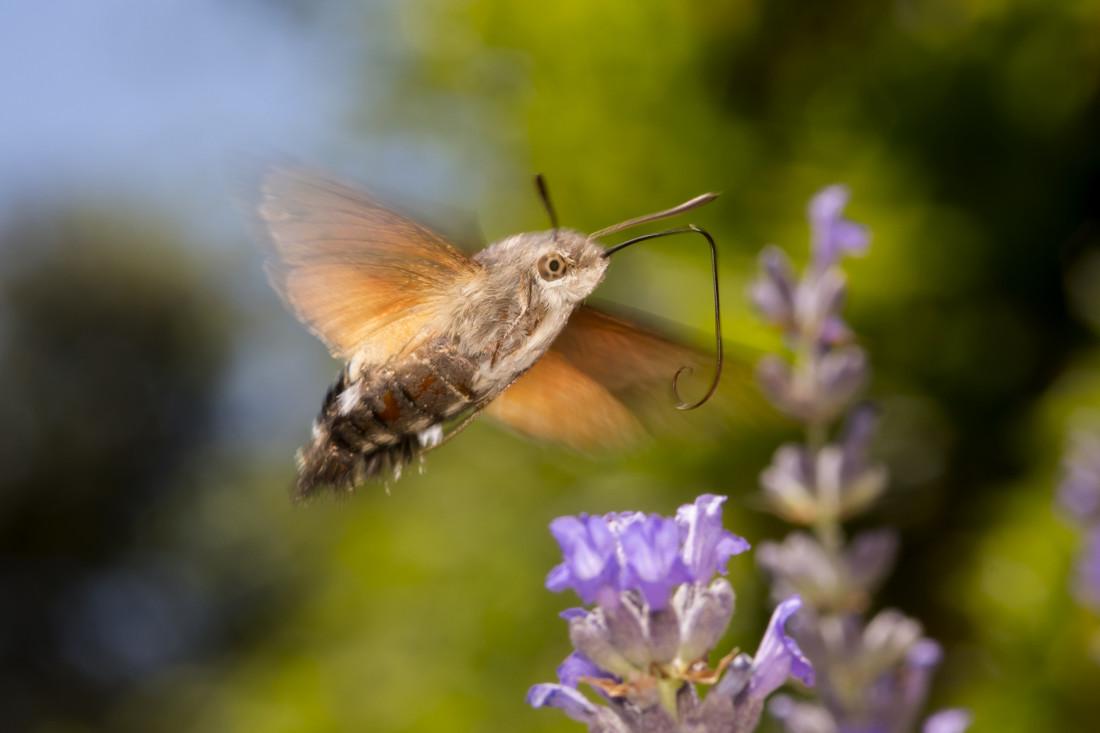 Esfinge colibrí 357_104