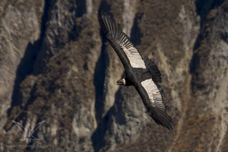 Cóndor de los Andes 385_733_001